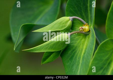 Caper spurge, Mole Plant (Euphorbia lathyris), inflorescence, Germany, Baden-Wuerttemberg - Stock Image