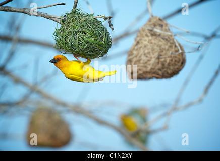 Golden Palm Weaver. Ploceus bojeri .saadani. Tanzania - Stock Image