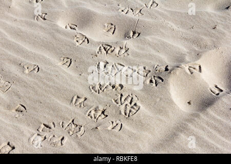 Bird footprints in the sand, Pambula, New South Wales, Australia - Stock Image