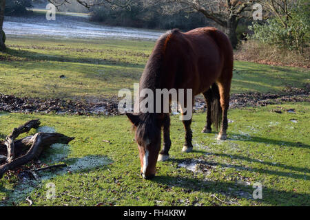 New Forest pony grazes on moss in the New Forest in winter. The ponies are owned by 'commoners' - residents - Stock Image
