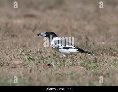 Pied Butcherbird (Cracticus nigrogularis) with insect in beak, Cape York Peninsula, Far North Queensland, FNQ, Australia - Stock Image