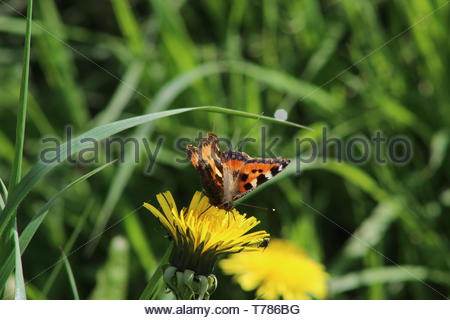 Small Tortoiseshell Butterfly resting on a Dandelion plant - Stock Image