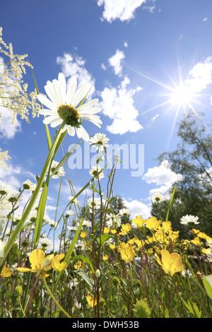 Buttercup flowers (Ranunculus) and oxeye daisies (Leucanthemum vulgare) blooming in a meadow in spring. - Stock Image