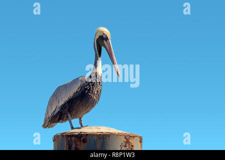 Pelecanus occidentalis brown pelican standing on a Mooring bollard, blue gradient sky background - Stock Image