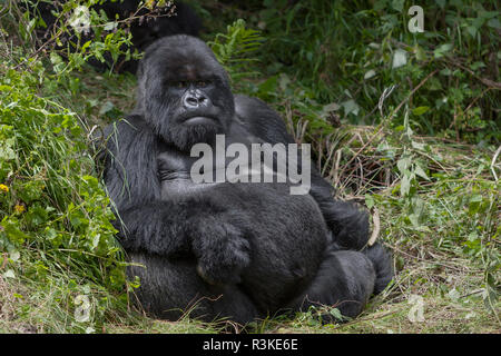 Africa, Rwanda, Volcanoes National Park. Blackback gorilla watching us. - Stock Image