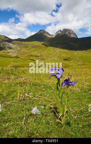 English iris (Iris latifolia) in high mountain pastures with Peyreget and Midi d'Ossau peaks (Col du Pourtalet, Portalet, Laruns, Pyrenees, France) - Stock Image
