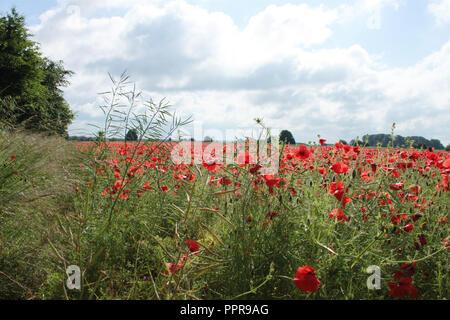 poppy field on summer's day - Stock Image