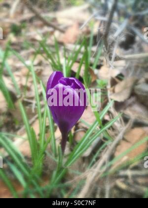 Purple crocus in Spring with blurred textured background. - Stock Image