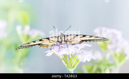 A Canadian tiger swallowtail (papilo canadensis) butterfly resting on a flower - front facing - Stock Image