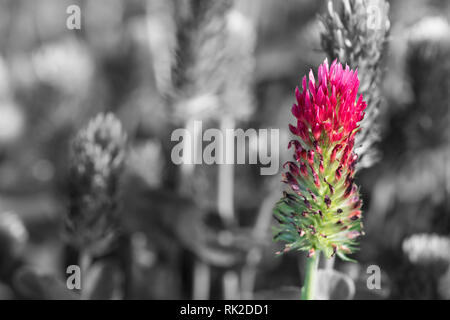 Crimson clover close-up on black and white blurred background. Trifolium incarnatum. Beautiful spring flower head of red trefoil in a melancholy field. - Stock Image