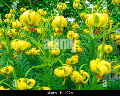 Newly flowering Tiger Lily Flowers in a North Yorkshire Garden - Stock Image