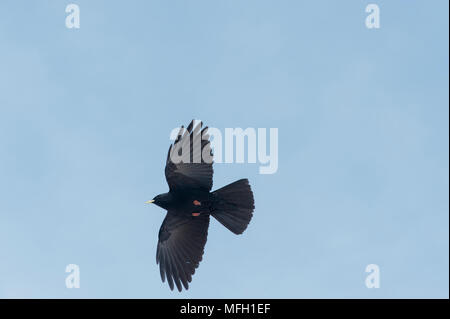 A pair of Alpine Chough or Yellow-Billed Chough, (Pyrrhocorax graculus), Bavaria, German Alps - Stock Image
