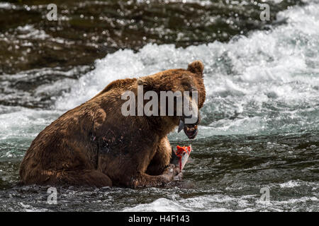 Brown Bear feeding on salmon Brooks river, Katmai National Park, Alaska - Stock Image
