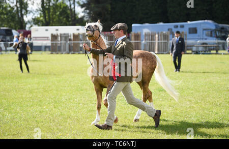 Ardingly Sussex UK 6th June 2019 - This pony is a bit of a handful on the first day of the South of England Show held at the Ardingly Showground in Sussex. The annual agricultural show highlights the best in British farming and produce and attracts thousands of visitors over three days . Credit : Simon Dack / Alamy Live News - Stock Image