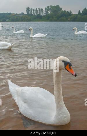 Mute Swan, Astbury Mere, Cheshire UK - Stock Image