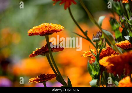 orange flowers - Stock Image
