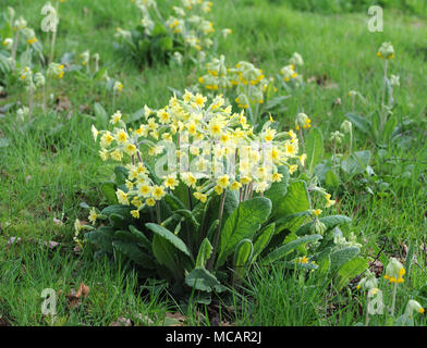 False Oxlip (Primula vulgaris x Primula veris) is a naturally occurring hybrid between primrose (Primula vulgaris) and Cowslip (Primula veris). Bedgeb - Stock Image