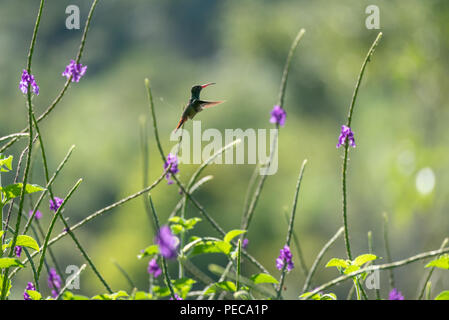 Hummingbird in flight amongst blue flowers, Mindo Cloud Forest, Ecuador - Stock Image