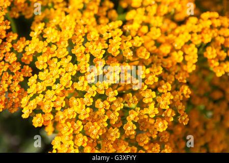 Orange Yarrow - Stock Image
