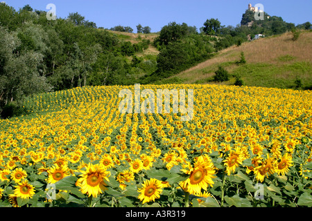 vivid,yellow,sweeping field of Sunflowers leading up to a romantic tower in a hilltown in Le Marche,Italy - Stock Image