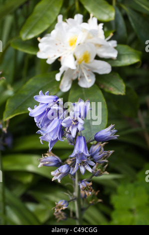 Wild flowers of rhododendron and aquilegia in english country garden. - Stock Image