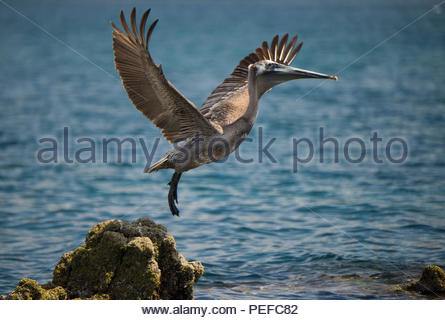 A pelican takes off from a rock. - Stock Image