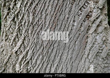 Bark of a poplar tree in Roath Park in autumn, Cardiff Wales UK  KATHY DEWITT - Stock Image