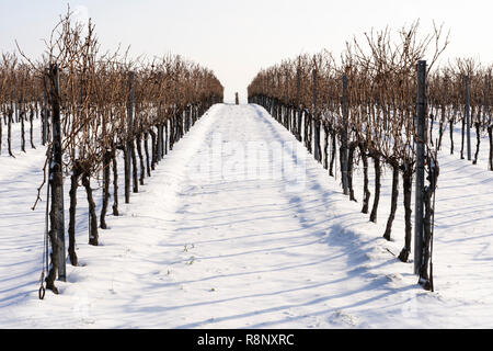 A row of vines in a vineyard disappearing off into the horizon in a snowy winter landscape in Lower Austria - Stock Image