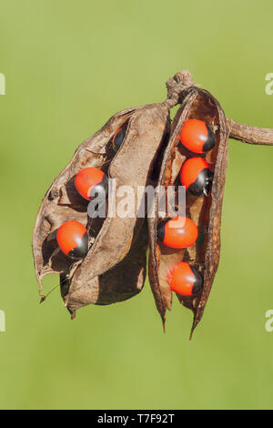Rosary Pea (Abrus precatorius) seedpods showing the bright red seeds, which are highly toxic to humans. - Stock Image