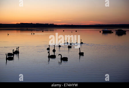 Silhouetted black swans, Queenscliff VIC Australia - Stock Image