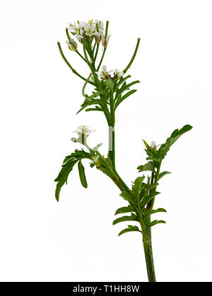 Flowering stem of the annual wildflower, Cardamine flexuosa, Wavy Bitter Cress, a frequent garden weed. - Stock Image
