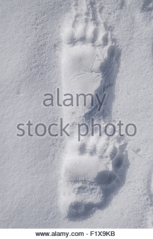 grizzly bear foot print in snow - Denali national Park - Alaska - Stock Image