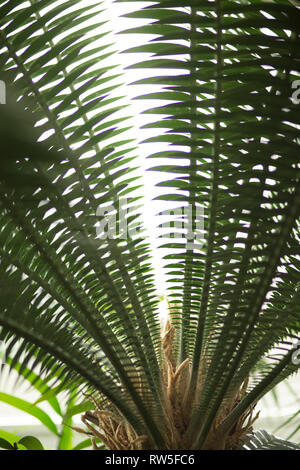 Large Tropical Plant Fronds against Sunlight - Stock Image