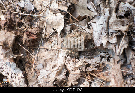 Toad camouflaged in dead leaves - Stock Image