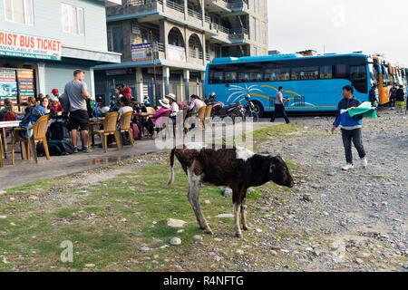 Skinny calf roaming on the grounds of Pokhara bus station, Nepal. - Stock Image