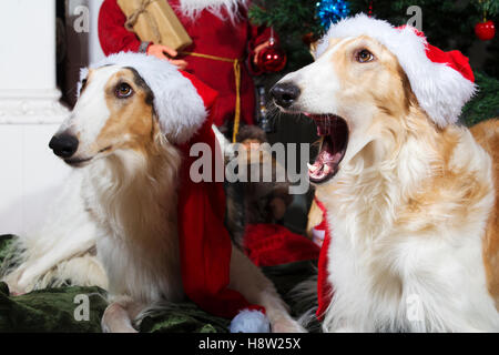 large borzoi hounds dressed up as father-christmas - Stock Image