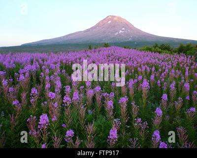 Wildflowers blooming around the cone of the Augustine volcano on Augustine Island in the lower Cook Inlet July 30, - Stock Image