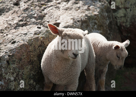 Two Sheep standing by a large rock on a sunny day one is eating a blade of grass - Stock Image