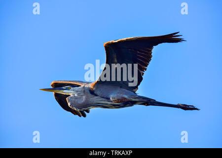 Great Blue Heron in flight heading towards sunrise. - Stock Image