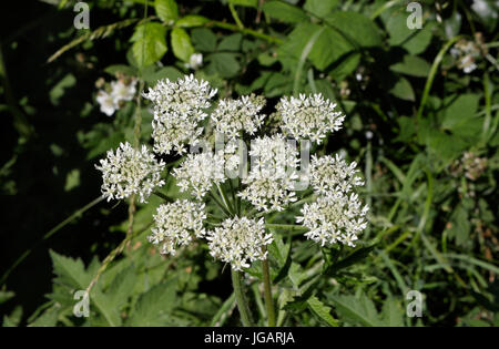 Cow Parsley Flowers, Anthiscus Sylvestris - Stock Image