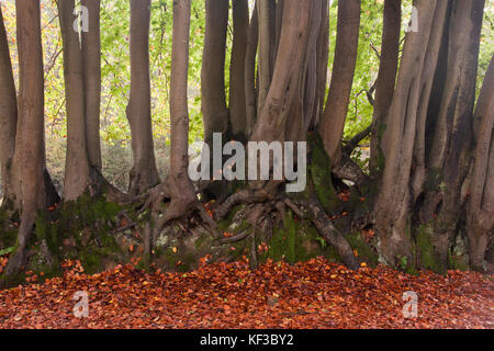 row of beech trees (fagus sylvatica) bearing their roots, in the ancient woods at Devils Punchbowl, the largest - Stock Image