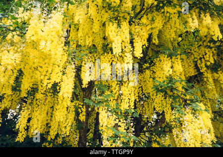 Yellow Laburnum tree also know as a golden chain tree. Hampshire, England, United Kingdom. - Stock Image
