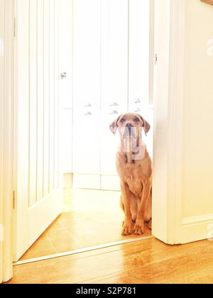 A cute and adorable yellow labrador retriever dog sitting in a brightly lit home interior waiting patiently for food from its master - Stock Image