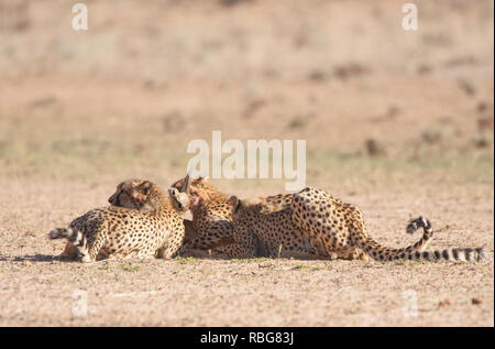 INCREDIBLE images showcase the moment a skilled photographer captured a dramatic cheetah kill whilst on safari in South Africa. The action-packed photographs were taken just as the cheetahs descended from the sand dunes of the Kalahari Transfrontier Park. The up-close pictures show the cheetahs hungrily chasing their pray, a Springbok Fawn, as it darts to avoid capture. Bridgena Barnard / www.mediadrumworld.com - Stock Image