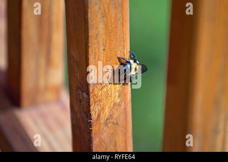 Female Carpenter Bee digging into the wood of an outdoor deck to build her nest where she will lay eggs, on a sunny spring day - Stock Image