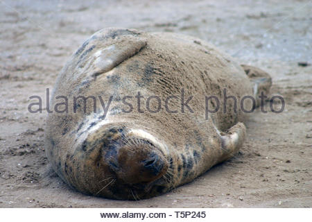 Grey Seal lying on it's back in the sand - Stock Image