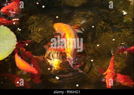 BT9T89 goldfish feeding in garden pond - Stock Image