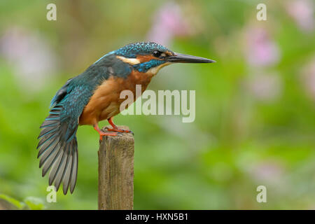 Common kingfisher (Alcedo atthis) adult female stretching wing after preening. Worcestershire, England. September. - Stock Image
