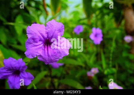 Closed-up Minnieroot or  Ruellia Tuberosa Flowers (Selective Focus) - Stock Image