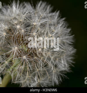 Dandelion seed head - Stock Image
